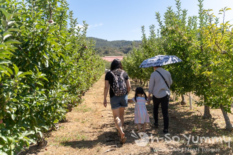 family fun picking apples at Volcan Valley Apple Farm