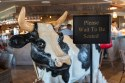 Cow welcome at Toast Gastrobrunch in Carlsbad