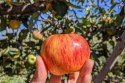 apple closeup at Volcan Valley Apple Farm